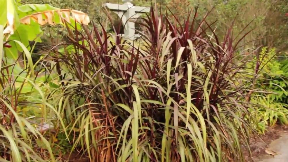 Ornamental grasses wpmi for Different ornamental grasses