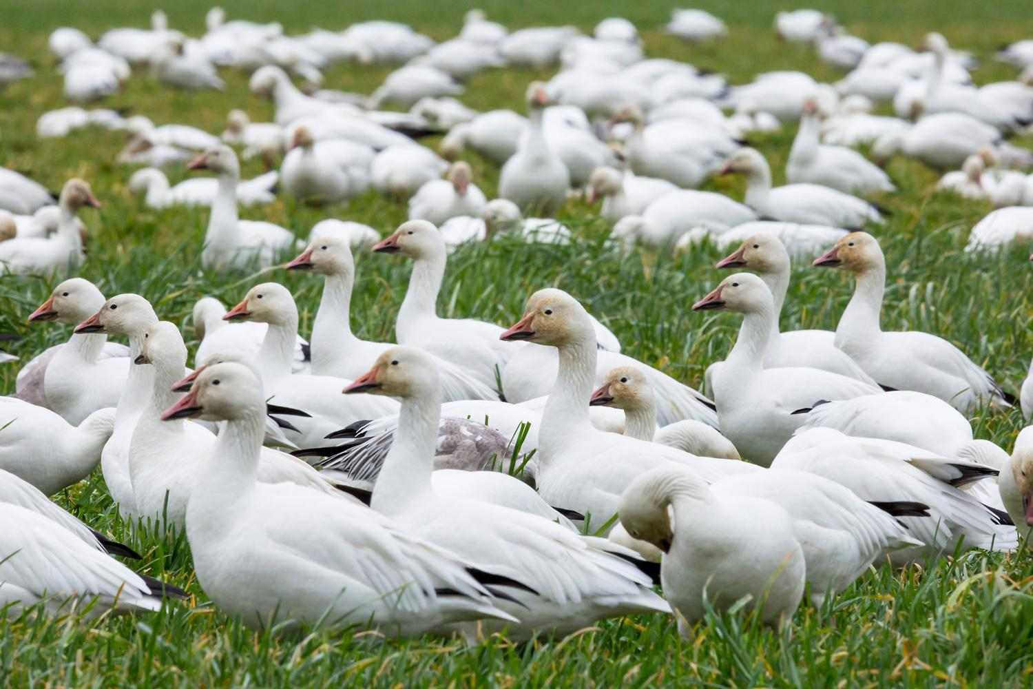 Each year, tens of thousands of snow geese migrate to the Pacific Northwest from Siberia and Alaska for the winter, along with tundra and trumpeter swans. One of their favorite wintering grounds is the Skagit Valley Delta - only an hour drive from Seattle. (Sy Bean / Seattle Refined)