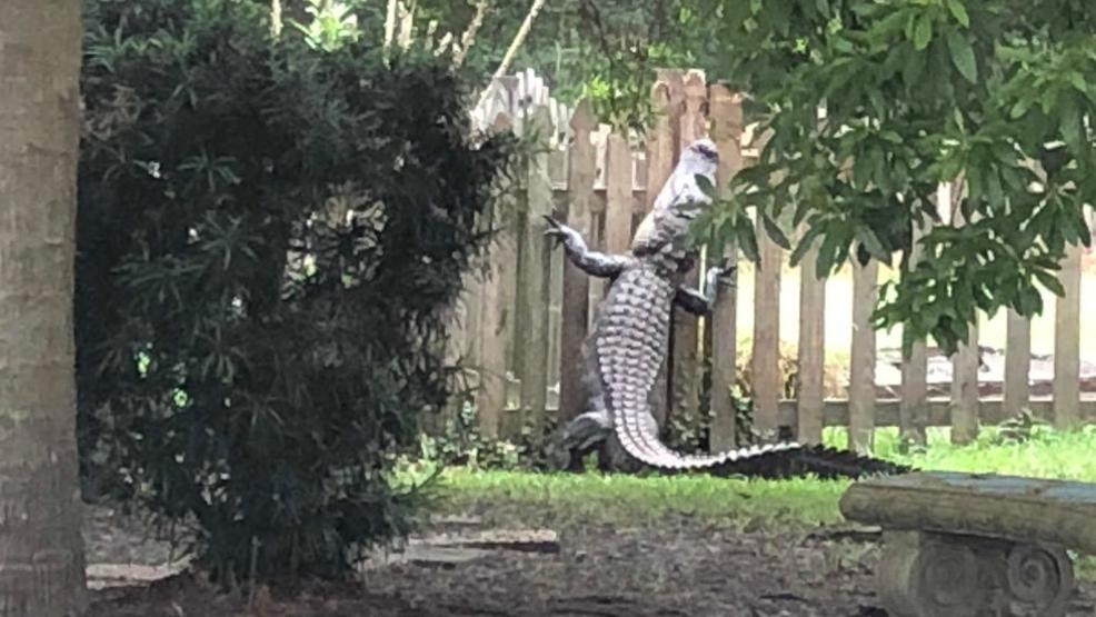 Large Alligator Appears To Climb Fence In South Carolina